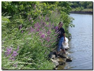 Anna Moyer WDNR releasing beetles on the Milwaukee River