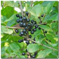 Common buckthorn - Rhamnus cathartica