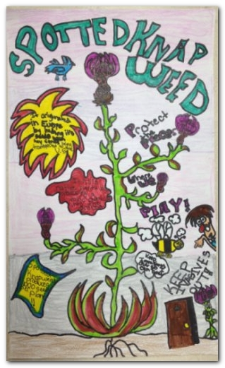 spotted knapweed poster wbd