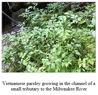 vietnamese parsley 2