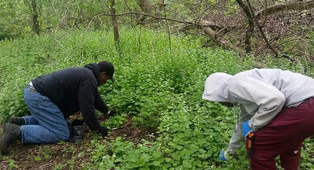 2 men pulling garlic mustard