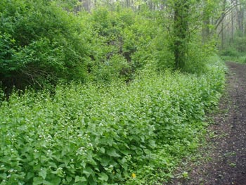 garlic mustard patch
