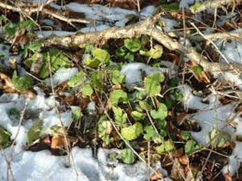 garlic mustard seedlings