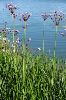 Flowering rush Butomus umbellatus 1