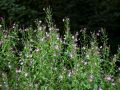 Hairy willow herb 1