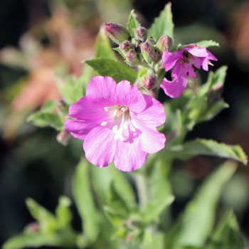 Hairy willow herb 2