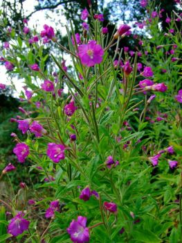 Hairy willow herb 5