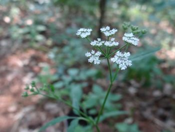 Japanese Hedge Parsley  2