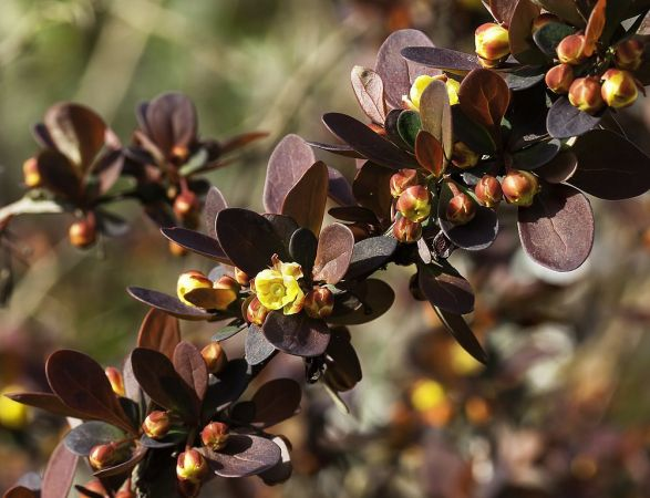 Japanese barberry Berberis thunbergii 1