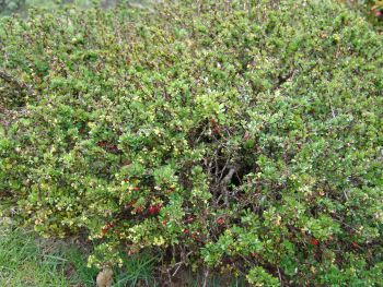 Japanese barberry Berberis thunbergii 3