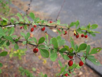 Japanese barberry Berberis thunbergii 4