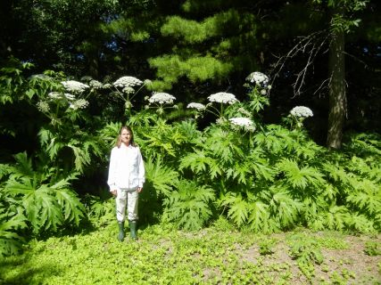 Giant Hogweed June 2016 Sheboygan