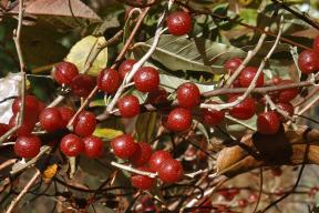 autumn_olive_berry-lg