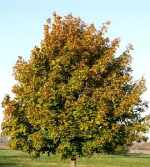 norway_maple-thumb